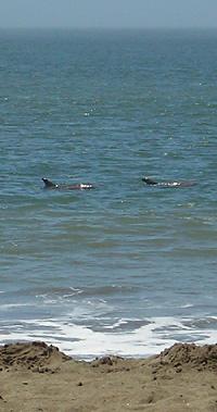 Zwei Delfine am Baker Beach - Sehr Nahe am Strand!